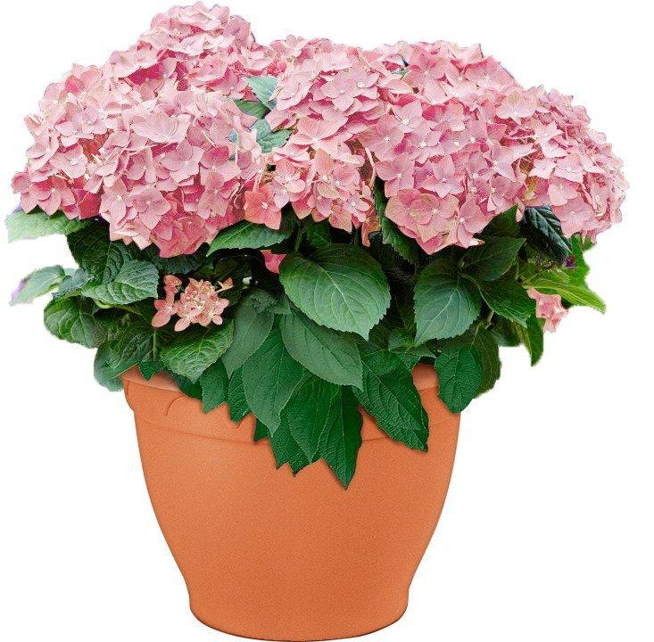 Hortensie »Soft Pink Salsa« in weiß