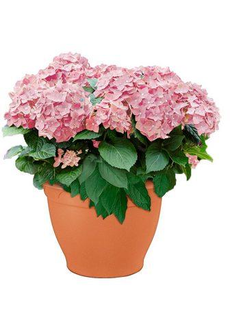Hortenzija »minkštas Pink Salsa«