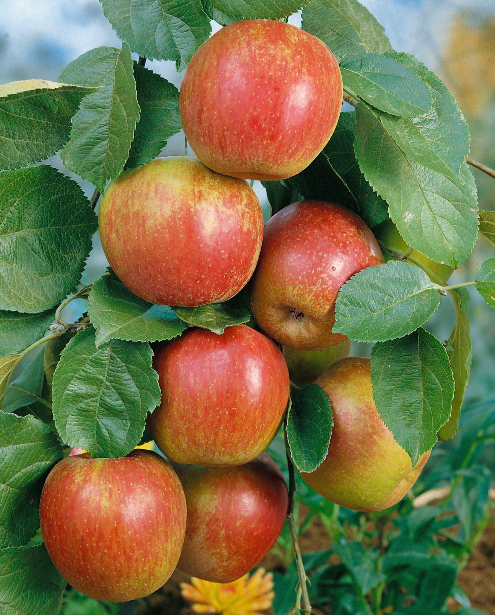 Apfel »Roter Boskoop«