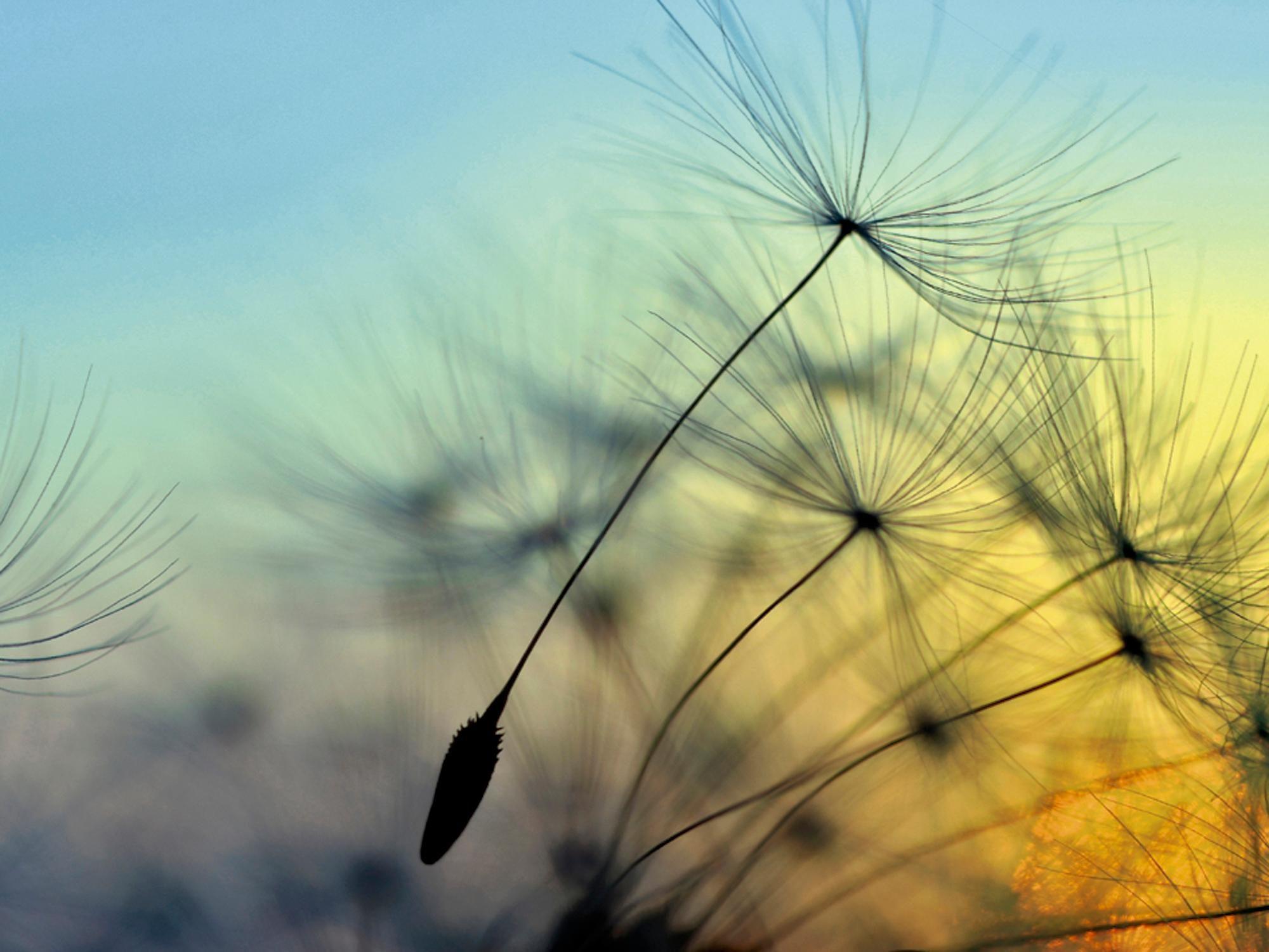 Home affaire Glasbild »supertramp8: Sonnenuntergang und Pusteblumen«, 80/60 cm