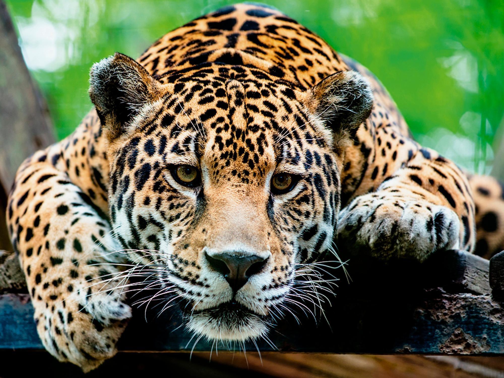 Home affaire Glasbild »R. Hainer: Südamerikanischer Jaguar«, 80/60 cm