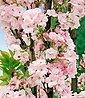 BCM Gehölze »Japanische Nelken-Kirsche Amanogawa«, Bild 2