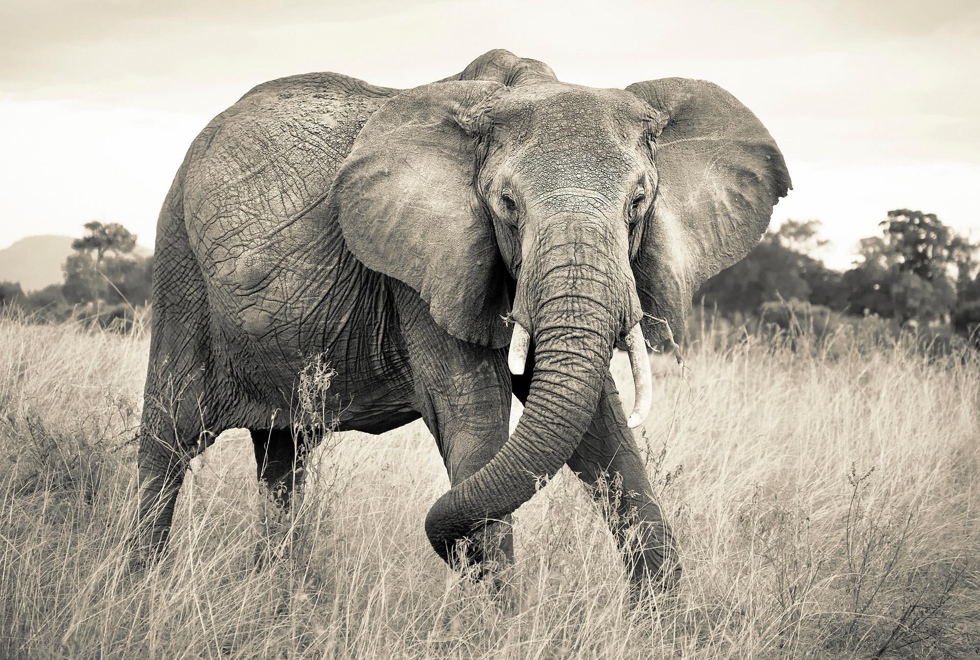 Komar Vlies Fototapete »Elephant«, 368/248 cm