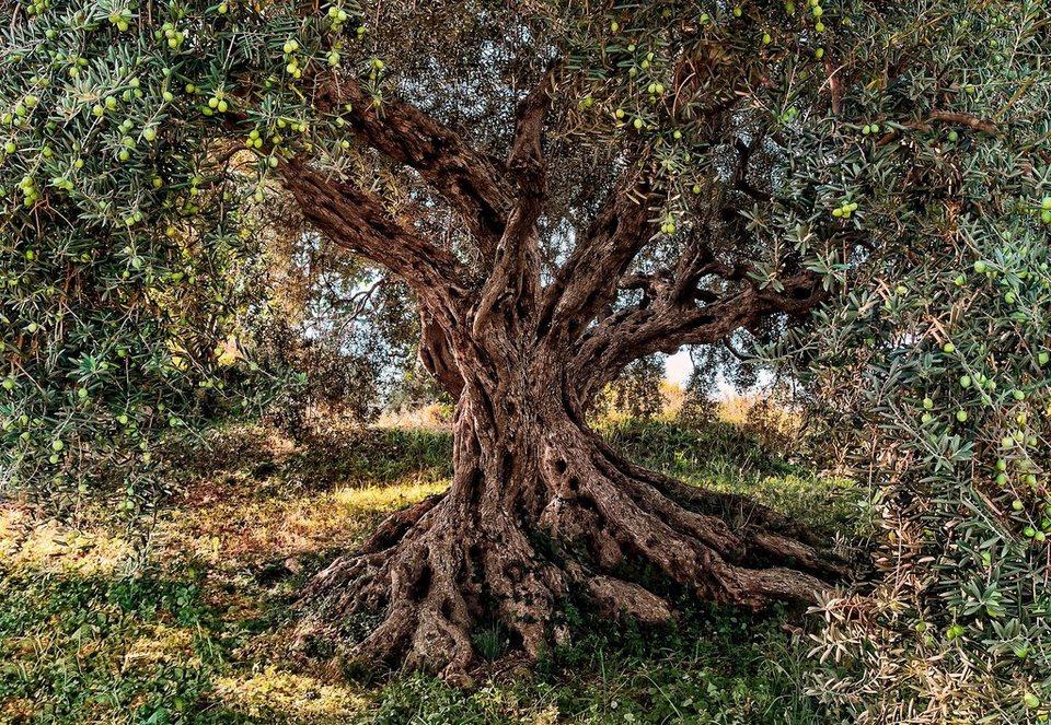 Komar Fototapete »Olive Tree«, 368/254 cm in grün/braun