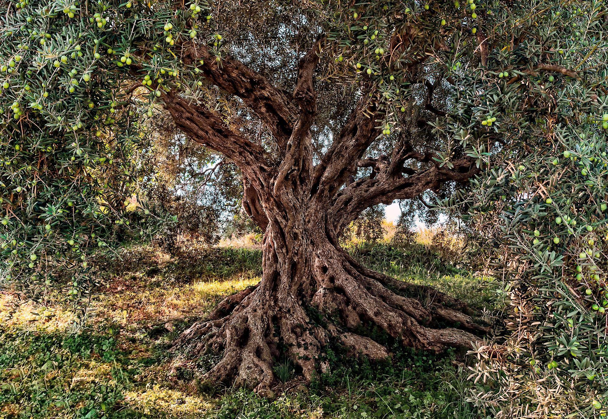 Komar Fototapete »Olive Tree«, 368/254 cm