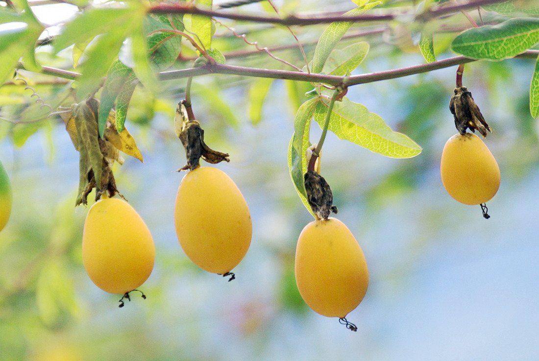 Passionsfrucht »Eia Popeia«