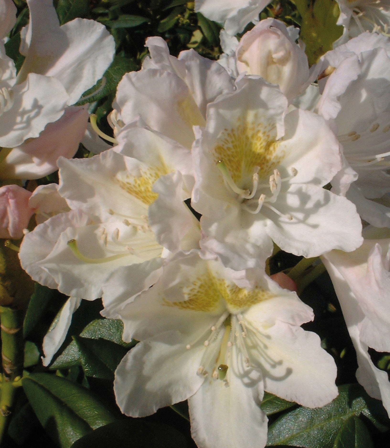 Rhododendron »Cunningham's White«