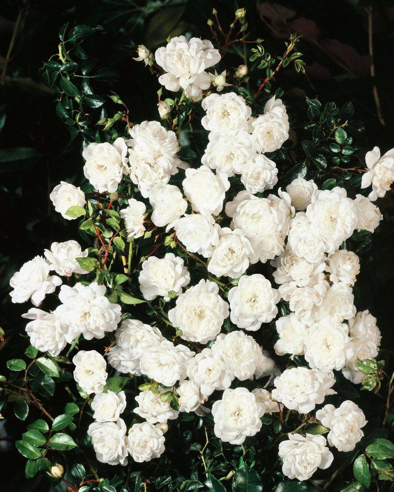 Bodendeckerrose »Swany« in weiß