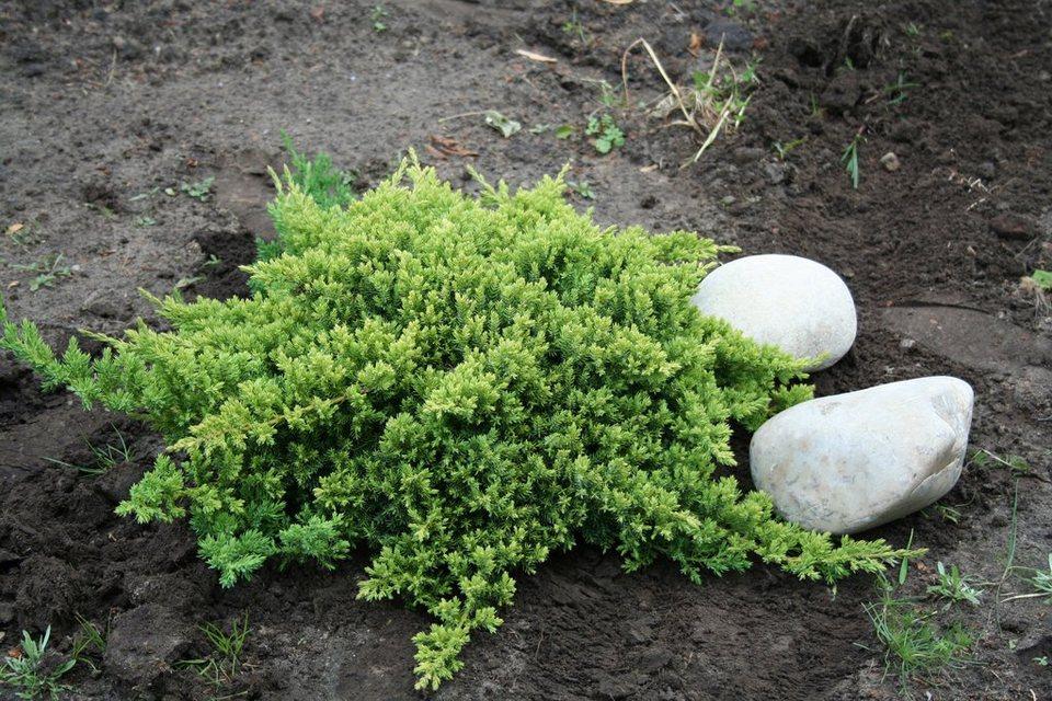 Japanischer Kriech-Wacholder in grün