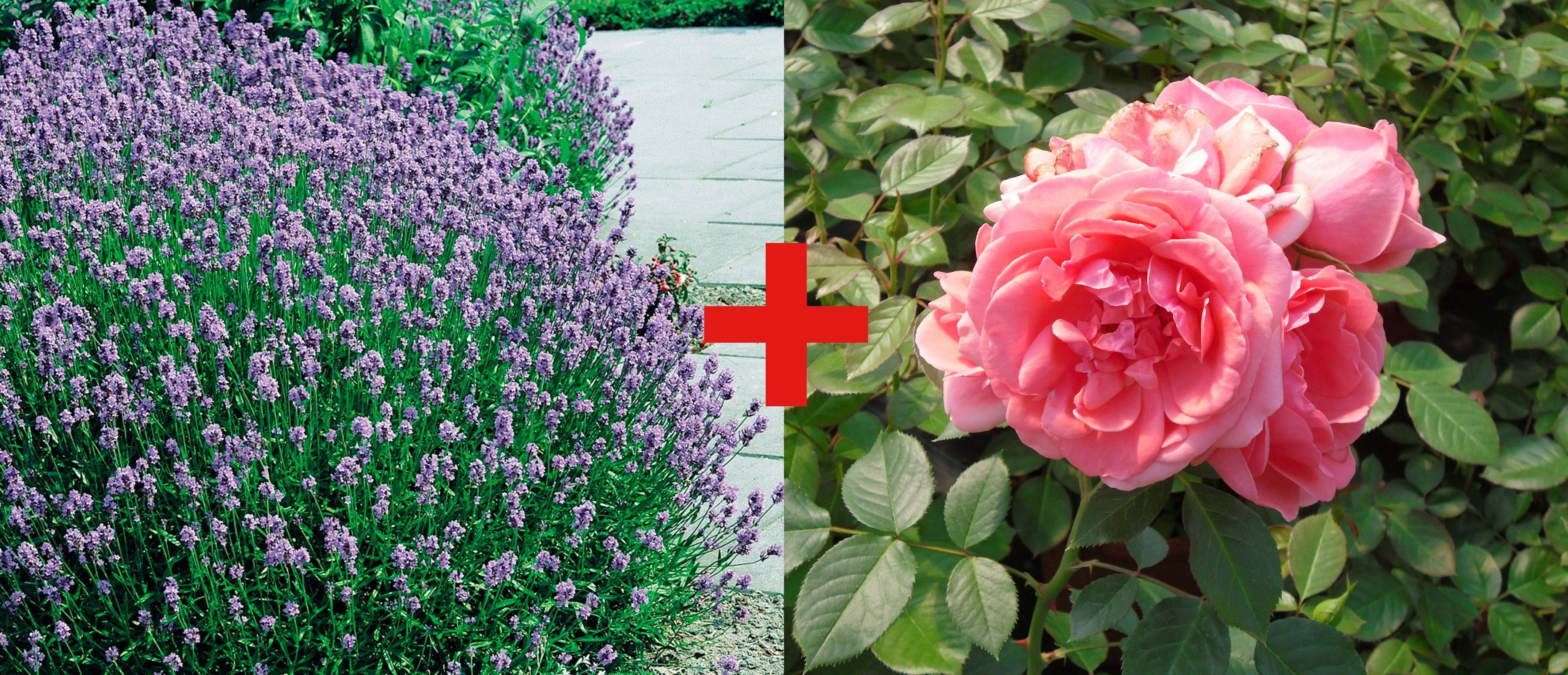 Set: Beetrose »Rose Kimono & Lavendel«