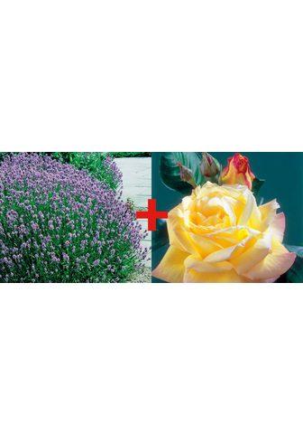 BCM Rinkinys: Beetrose »Rose Peace & Laven...