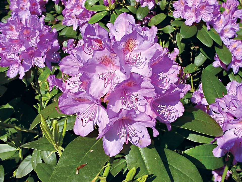 rhododendron catawbiense grandiflorum kaufen otto. Black Bedroom Furniture Sets. Home Design Ideas