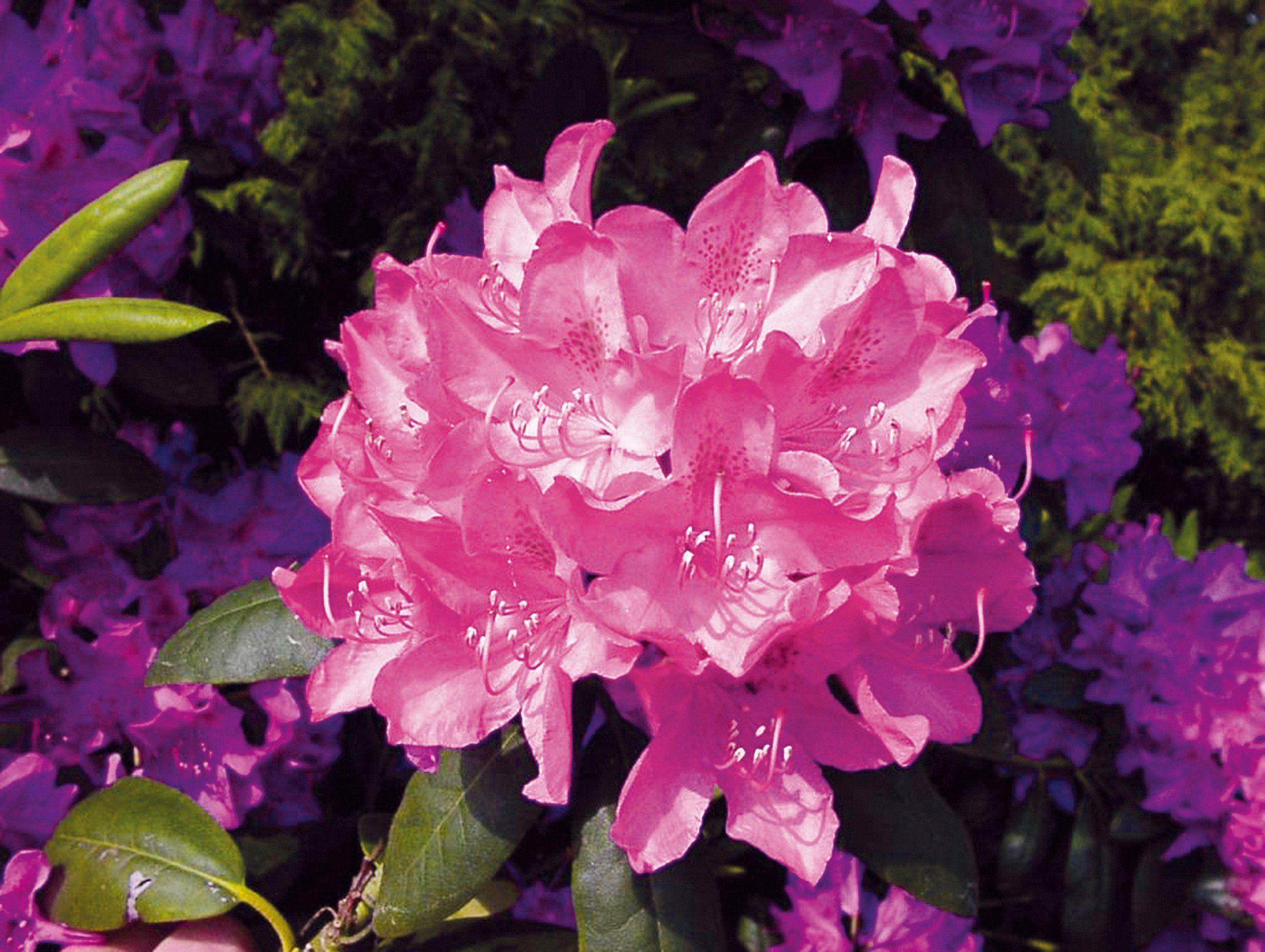 Rhododendron »Roseum Elegans«