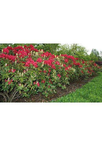 BCM Rhododendron »Nova Zembla«