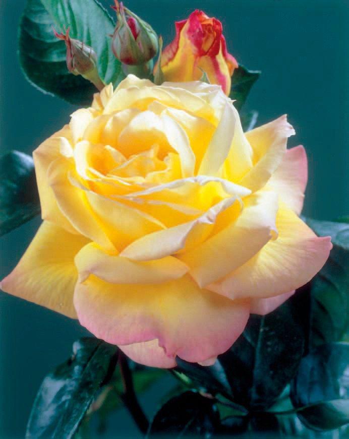 Beetrose »Peace« Edelrose in gelb