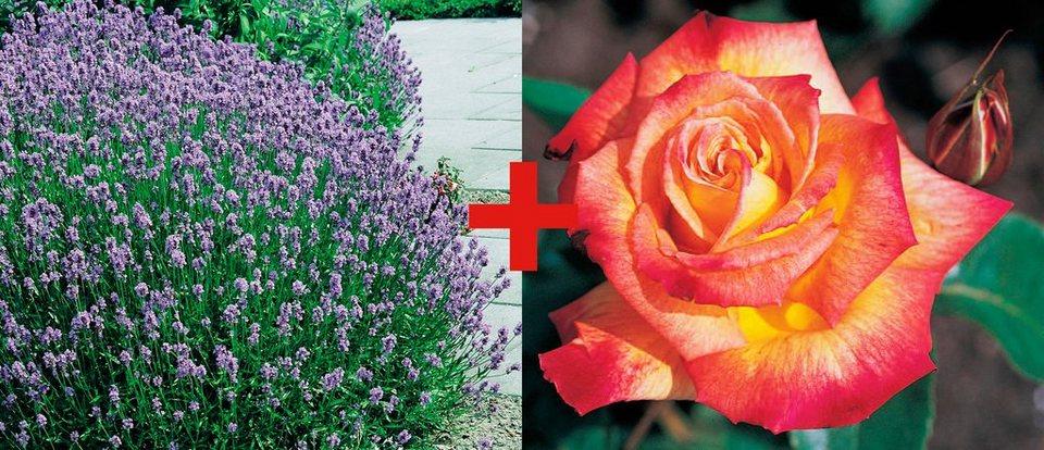 Set: Beetrose »Rose Rumba & Lavendel« in bunt