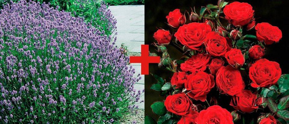 set beetrose rose europeana lavendel kaufen otto. Black Bedroom Furniture Sets. Home Design Ideas