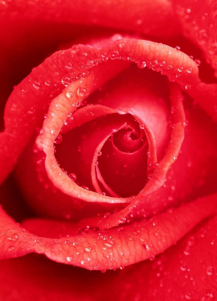 Home affaire Fototapete »Rosa Rose«, 183/254 cm