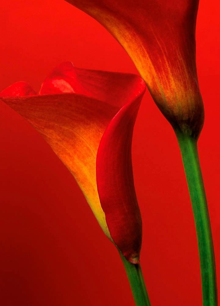 Home affaire Fototapete »Rote Calla Lillies«, 183/254 cm