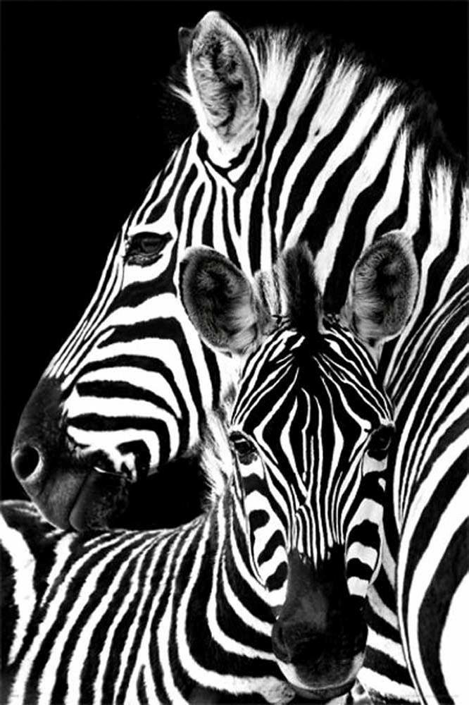 Premium Picture, Deco Panel, »Zebras«, 60/90 cm