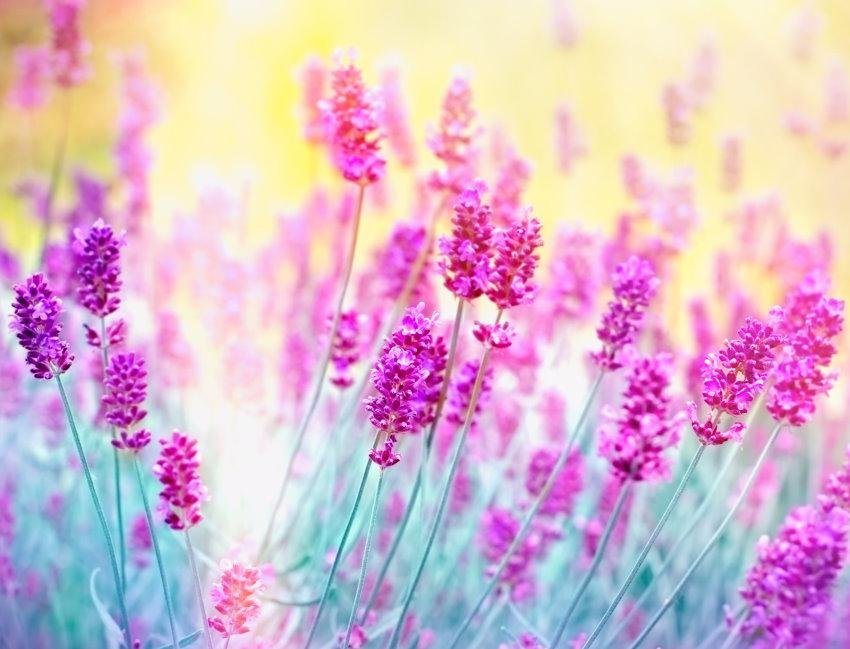 Home affaire Fototapete »Lavender Flower«, 350/260 cm in pink/türkis/gelb