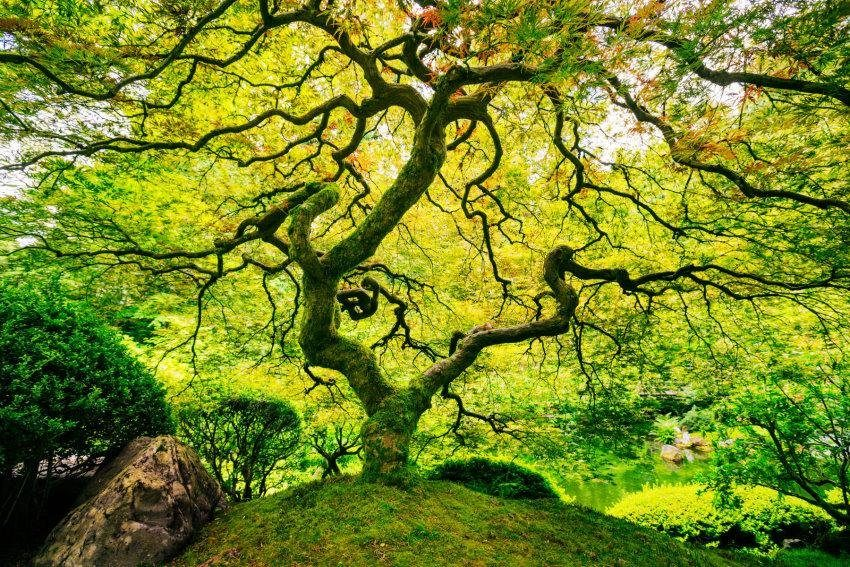 Home affaire Fototapete »Japanese Maple Tree«, 350/260 cm