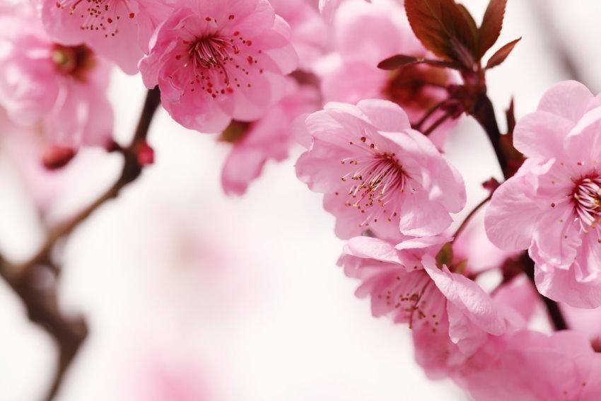 Home affaire Fototapete »Peach Blossom«, 350/260 cm in rosa/weiß