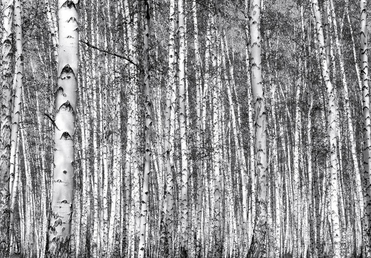 Eurographics Fototapete »Birch Forest«, 366/254 cm