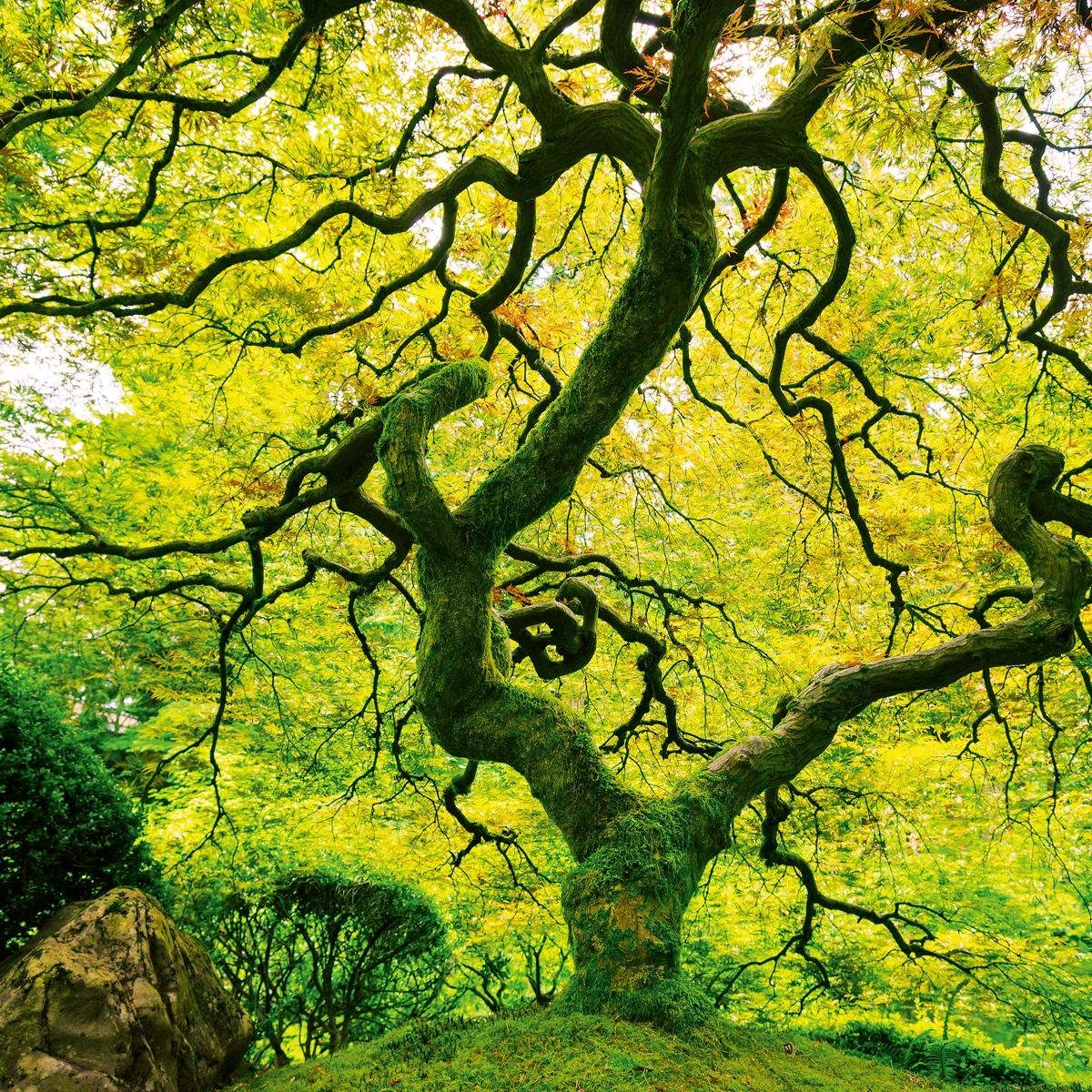 Eurographics Glasbild »Japanese Marple Tree«, 80/80cm