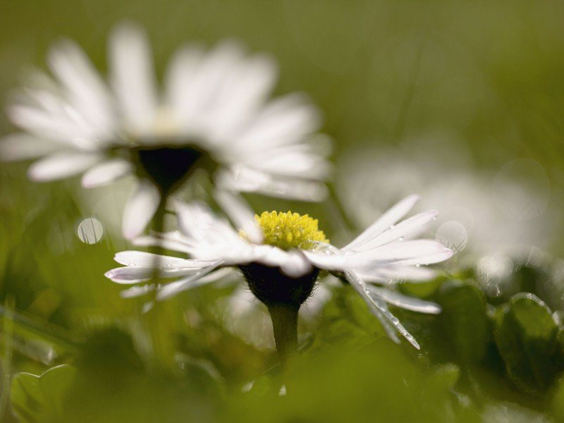 Artland Poster oder Leinwandbild »Botanik Blumen Gänseblümchen Fotografie Grün« in Grün