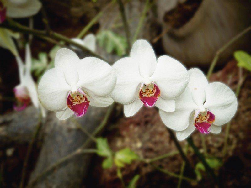 Artland Poster oder Leinwandbild »Botanik Blumen Orchidee Fotografie Weiß« in Weiß