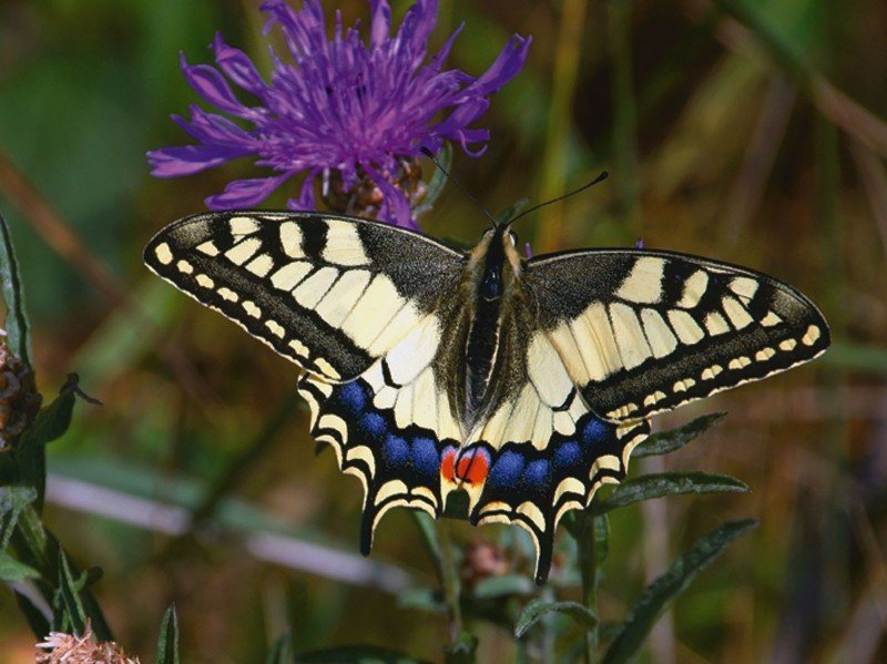 Artland Poster oder Leinwandbild »Tiere Insekten Schmetterling Fotografie Natur« in Natur