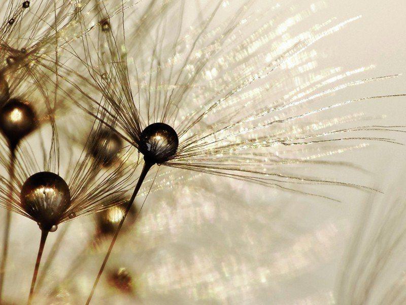 Artland Poster oder Leinwandbild »Botanik Blumen Pusteblume Fotografie Gold« in Gold