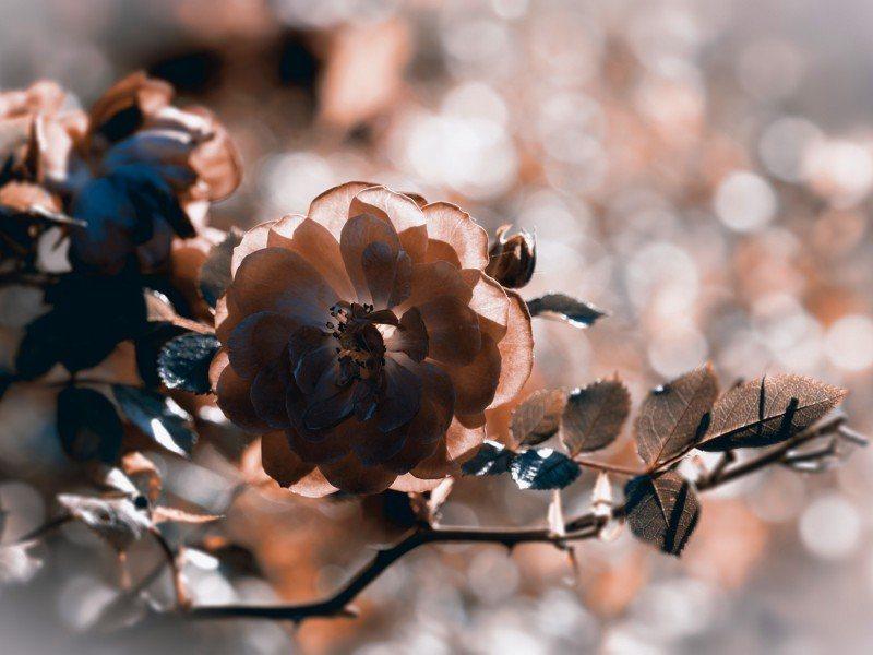 Artland Poster oder Leinwandbild »Botanik Blumen Rose Fotografie Silber« in Silber