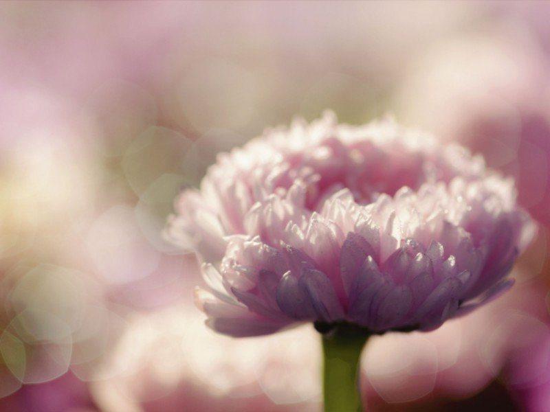 Artland Poster oder Leinwandbild »Botanik Blumen Fotografie Pink/Rosa« in Pink/Rosa