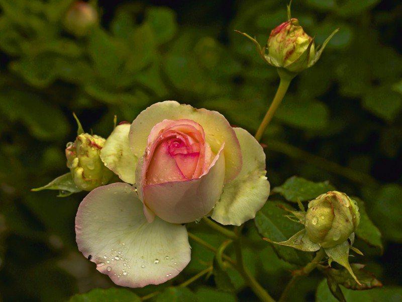 Artland Poster oder Leinwandbild »Botanik Blumen Rose Fotografie Grün« in Grün