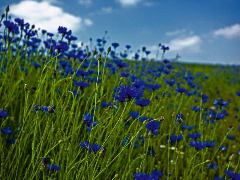Artland Poster oder Leinwandbild »Botanik Blumenwiese Fotografie Blau« in Blau
