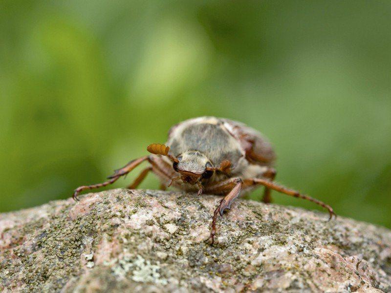 Artland Poster oder Leinwandbild »Tiere Insekten Käfer Fotografie Grün« in Grün