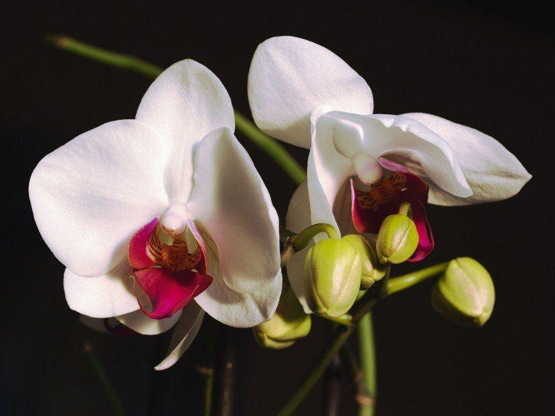 Artland Poster oder Leinwandbild »Botanik Blumen Orchidee Fotografie Schwarz/Weiß« in Schwarz/Weiß