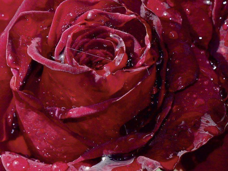 Artland Poster oder Leinwandbild »Botanik Blumen Rose Fotografie Rot« in Rot