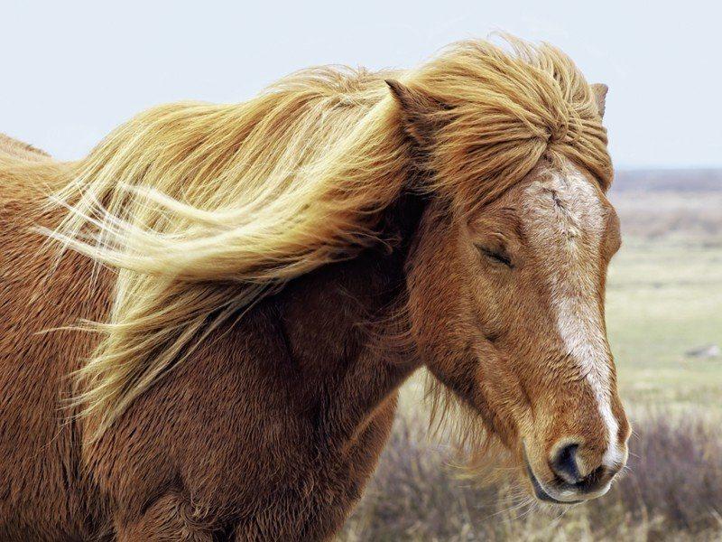 Artland Poster oder Leinwandbild »Tiere Haustiere Pferd Fotografie Braun« in Braun