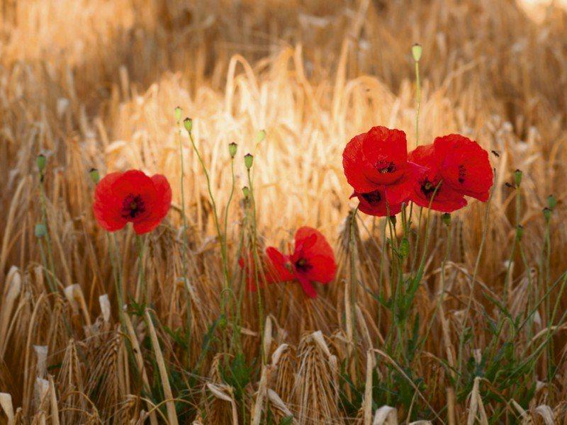 Artland Poster oder Leinwandbild »Botanik Blumen Mohnblume Fotografie Rot« in Rot