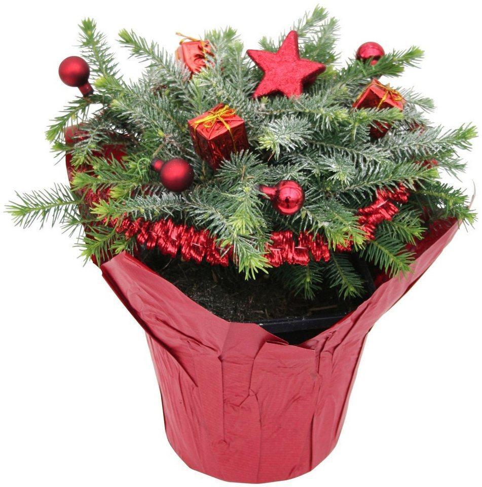 Konifere »Weihnachtsbaum« rot, Lieferhöhe: 15 cm in rot