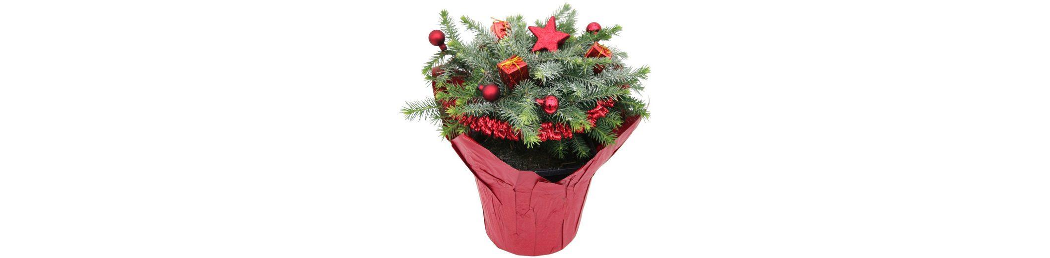 Konifere »Weihnachtsbaum« rot, Lieferhöhe: 15 cm