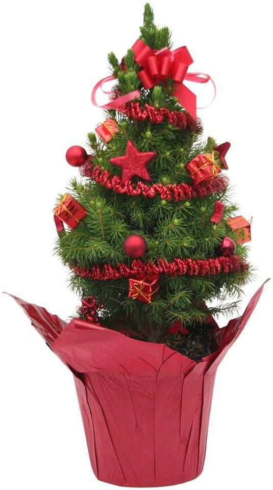 Konifere »Weihnachtsbaum« rot, Lieferhöhe: 25 cm in rot