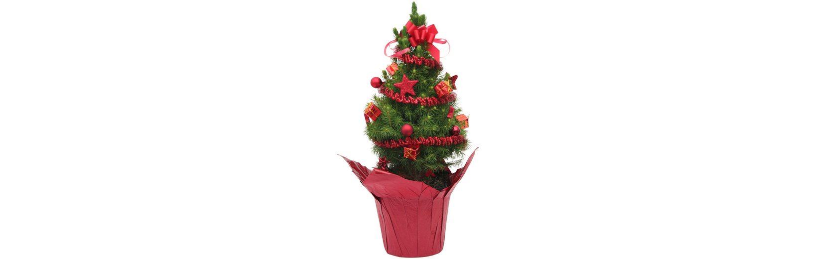 Konifere »Weihnachtsbaum« rot, Lieferhöhe: 25 cm