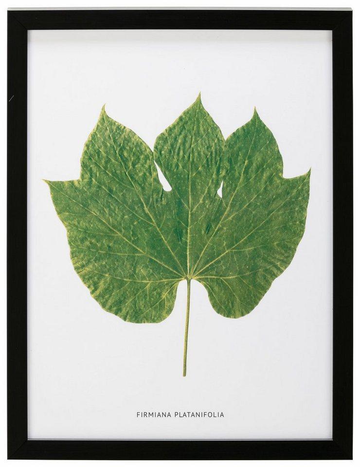 G&C gerahmtes Bild »Blatt Firmiana Platanifolia« 30/40 cm online ...