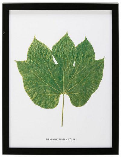 G&C Bild »Blatt Firmiana Platanifolia«, 30/40 cm, gerahmt