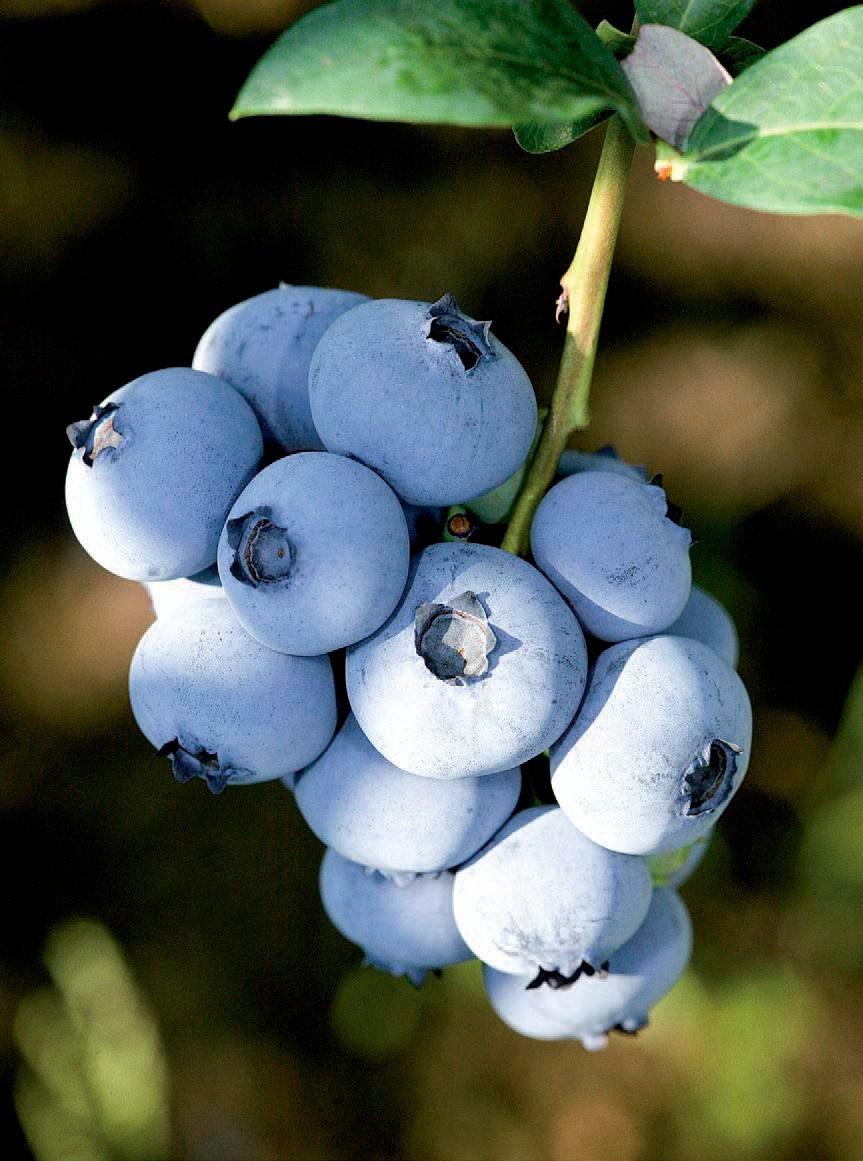 Heidelbeere »Bluecrop«, 25 cm