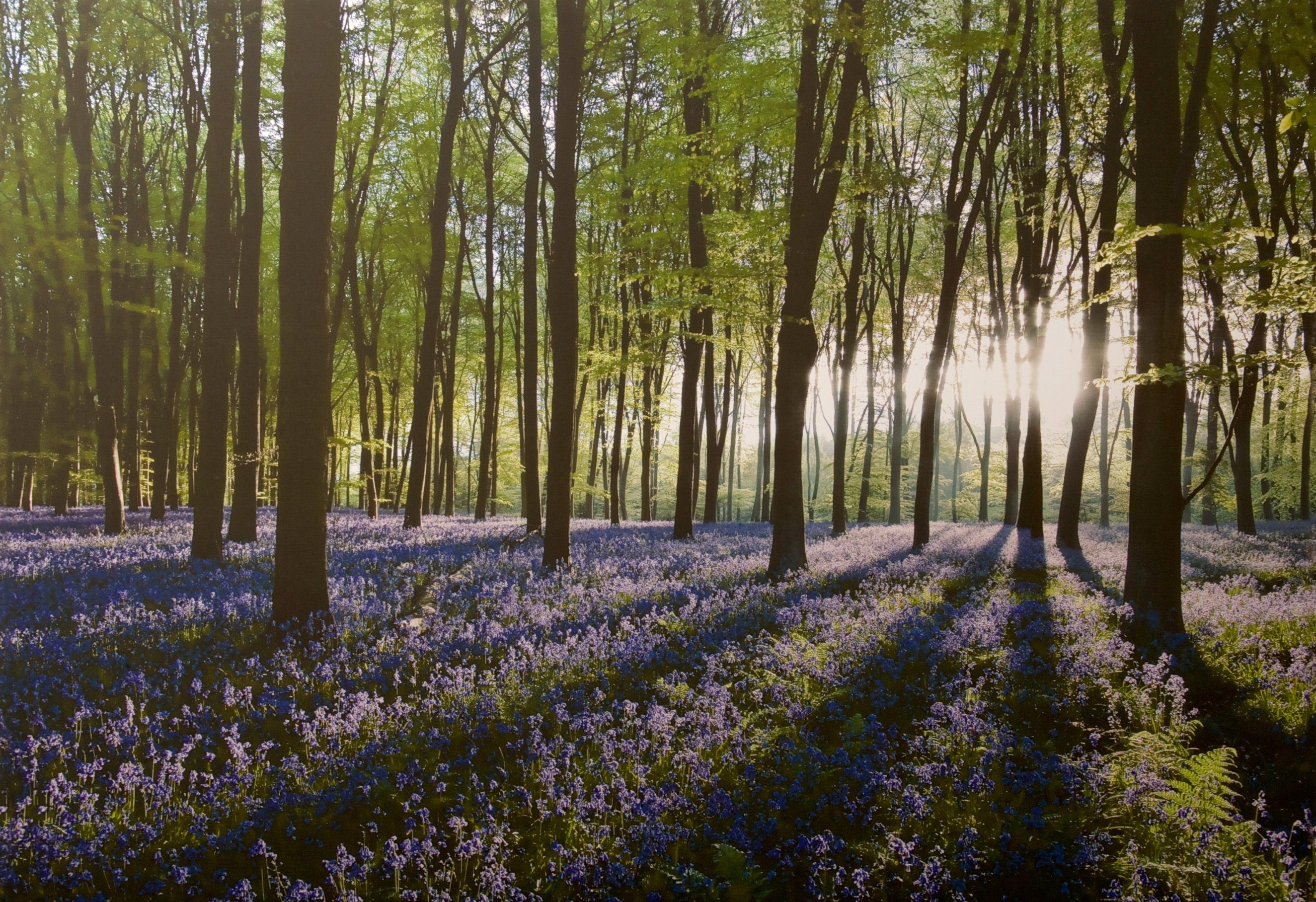 Leinwandbild »Glockenblumenwald«